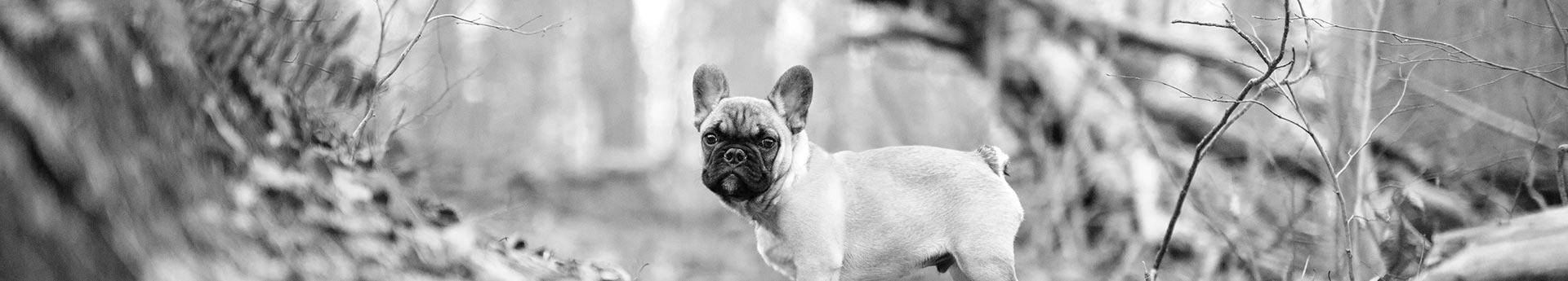 ORIJEN Puppy Dog Food - Boxer standing proud in woods - Reflective Echo from Laurel, Maryland