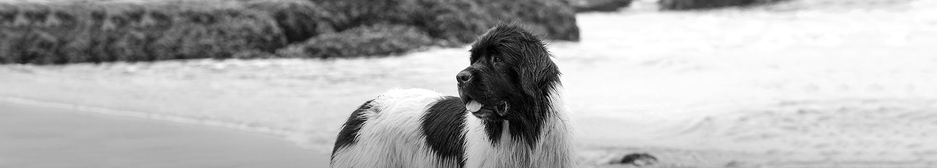 ORIJEN Six Fish Dog Food - Big black and white dog on an Oregon beach- Friday in Pacific City, Oregon