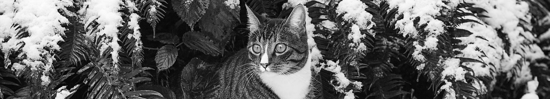 ORIJEN Fit & Trim Dry Cat Food - Wide-eyed cat in snow covered plants - Tyke from Washington